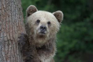 """Пом'якшення карантину: як ведмеді """"Домажиру"""" приймають гостей"""