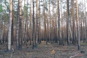 Ліс на згарищі