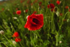 В Мукачево на площади в несколько гектаров цветут дикие маки