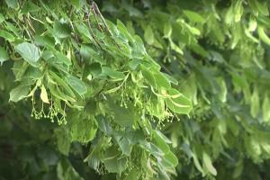 В Ужгороде расцвела рекордная липовая аллея
