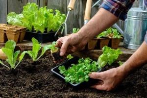 Салат і шпинат: корисні властивості