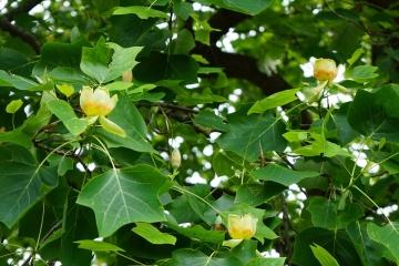У ботсаду Чернівців розквітло майже 200-річне тюльпанове дерево