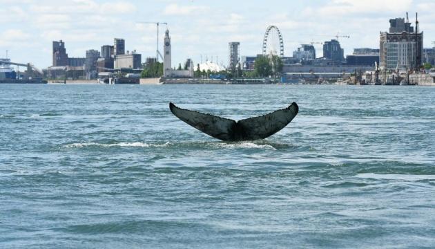 До одного з найбільших міст Канади заплив горбатий кит