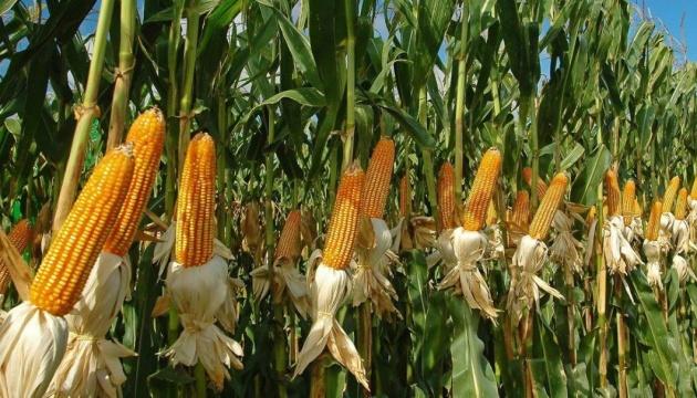 """Прогнози врожаю-2020 після """"мокрого маю"""": для всіх зернових – кращі, для кукурудзи – рекордні"""