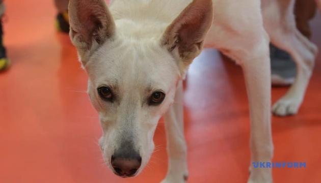 Найвищі вуха: київський пес із притулку встановив національний рекорд