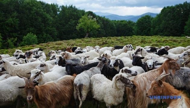 Производство сыра овцеводами Закарпатья