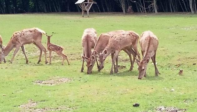 В Сокирянском лесхозе родились двое оленят