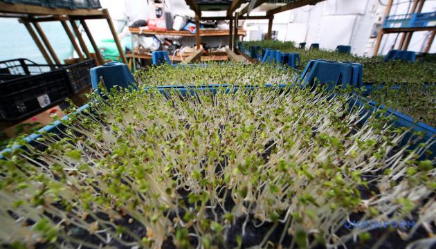 Мікрозелень як ліки від вірусу й невпевненості у собі