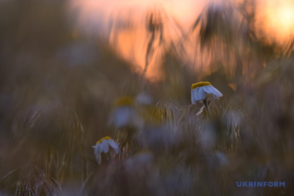 Квіткова ніжність / Фото: Олена Худякова, Укрінформ