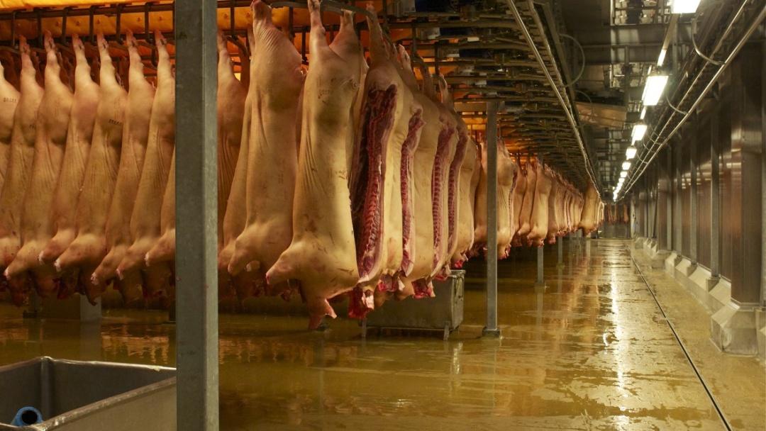 Виробництво свинини в Данії