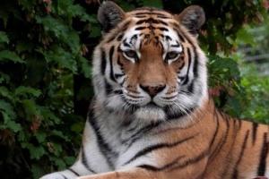 У зоопарку Цюриха тигриця вбила жінку на очах у відвідувачів