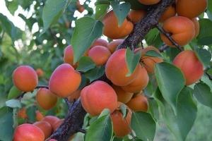 Ціни на абрикоси залишаються на рівні минулого року