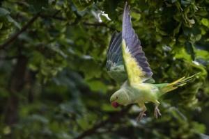 Сотні папуг колонізували місто на півдні Франції