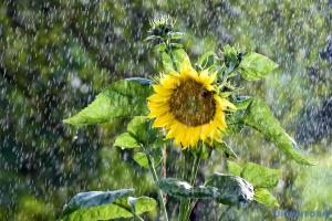 В Україні наступного тижня побільшає дощів і поменшає спеки