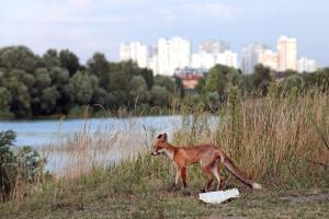 """Шептицкий в нескольких ипостасях, """"соборные"""" байкеры и урбанистическая лиса"""