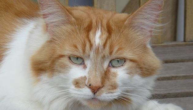 У Британії помер найстаріший у світі кіт