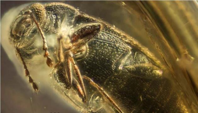 Знайдений у бурштині на Рівненщині жук жив 37 мільйонів років тому