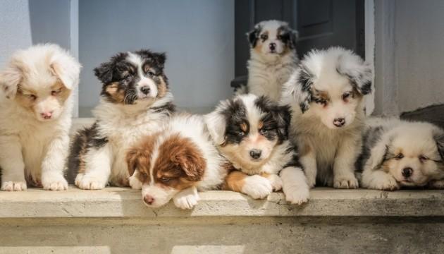 Канада запретила коммерческий ввоз щенков из Украины