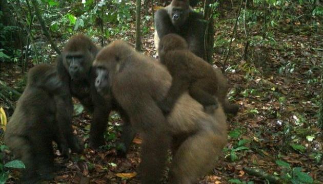 На грани исчезновения: в Нигерии сфотографировали горилл с детенышами