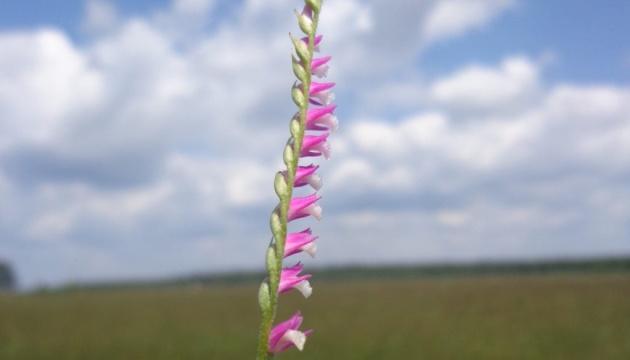 На Львівщині розцвіли найрідкісніші орхідеї в Європі