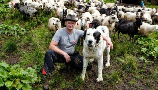 Пастухи в Карпатах держат собак, похожих на овец