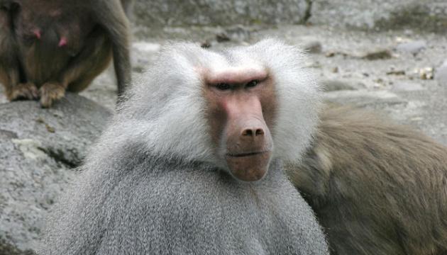 Из одесского зоопарка сбежали три гамадрила