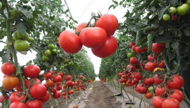 Тепличні помідори зараз коштують удвічі більше, ніж торік - експерти
