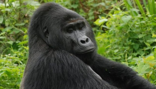 В Уганді вбивцю рідкісної горили засудили до 11 років в'язниці