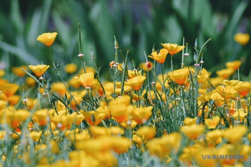 Gelbe Farben des Sommers / Foto: Maria Kowaltschuk, Ukrinform
