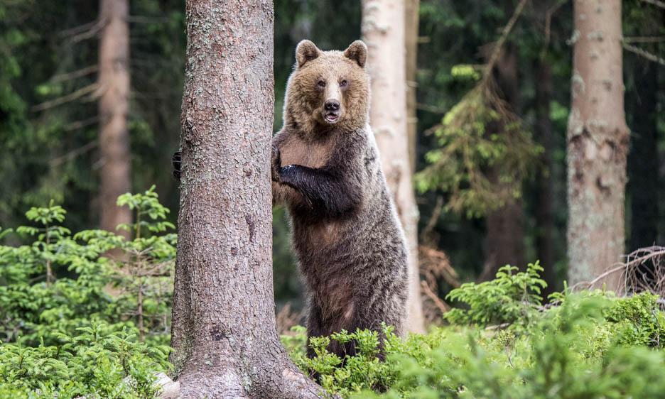 Ведмідь включений до Червоної книги України у 2003 році...