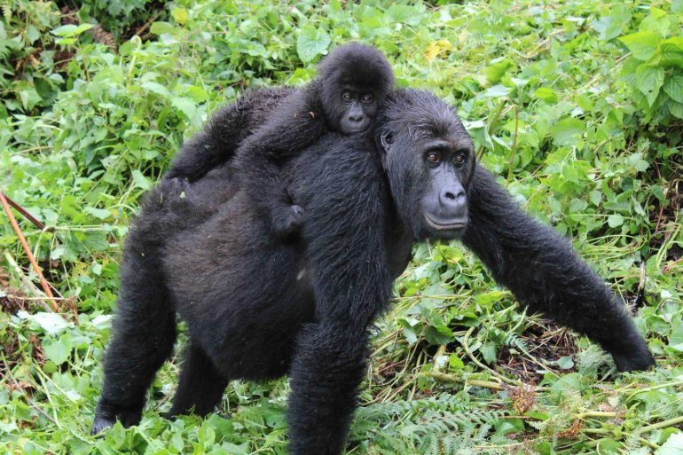 Східна рівнинна горила