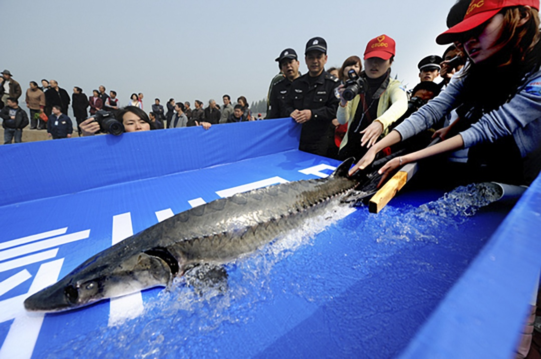 Китайский осетр / Фото South China Morning Post