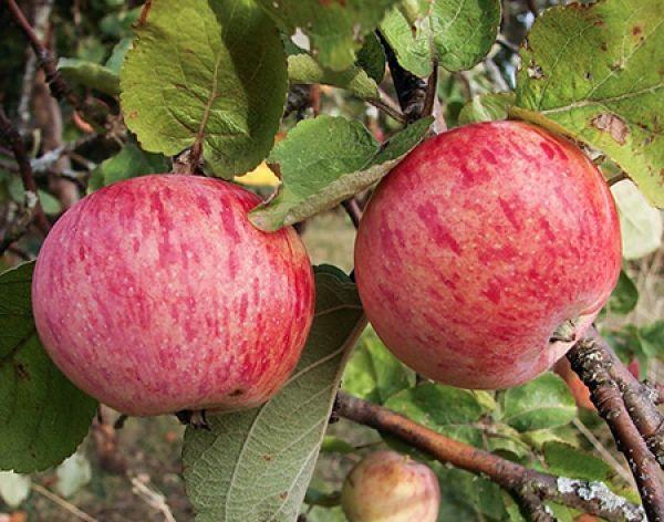 Зараз українські аграрії збирають осінні сорти яблук