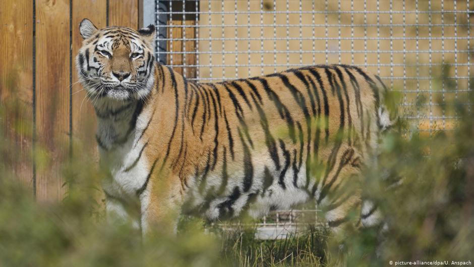 Два тигра досрочно вышли на пенсию после многолетней работы в немецком цирке
