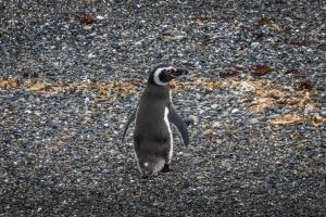 У Бразилії захисна маска вбила пінгвіна
