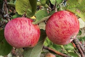 Робота зі штучним інтелектом навчили збирати яблука і груші