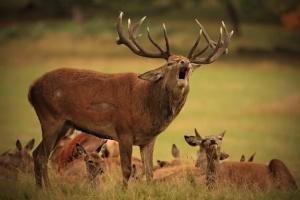 """""""Ліс на замок"""": у """"Синевірі"""" оленів захистили від бракон'єрів"""
