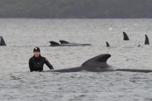 В Австралии на берег выбросились 270 китов, по меньшей мере треть погибла