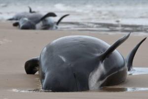 Ученые объяснили, почему сотни дельфинов-гринд выбросились на берег в Австралии