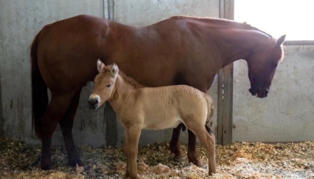 Гени з морозильника: вчені клонували коня Пржевальського