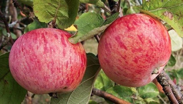 Работа с искусственным интеллектом научили собирать яблоки и груши