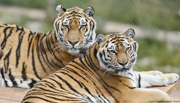 Два тигри достроково вийшли на пенсію після багаторічної роботи в німецькому цирку