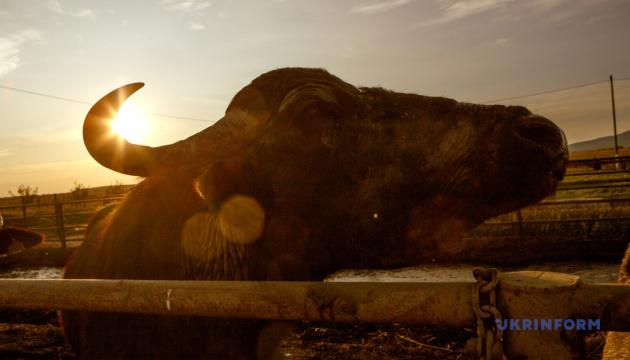 Конвертоплани над Києвом, класна дезінфекція і сонячний буйвол
