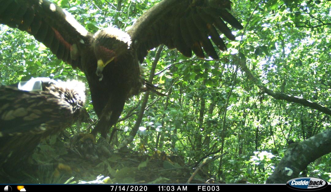 дорослий підорлик годує пташеня. Фото з камери біля гнізда