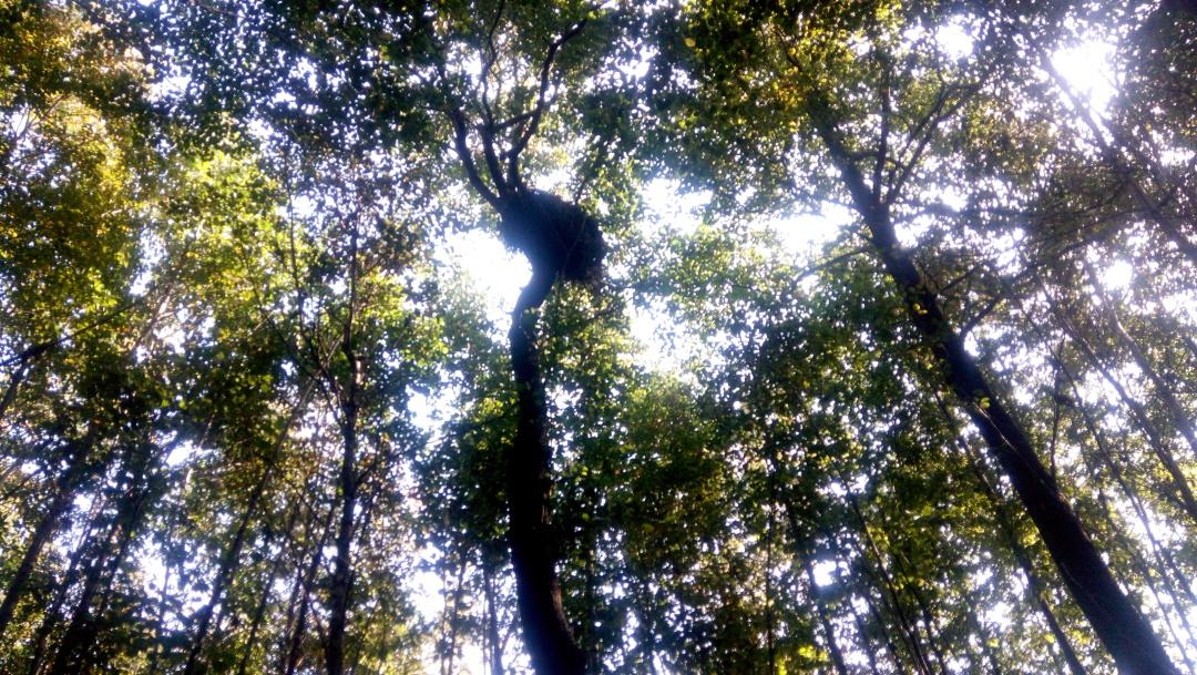 гніздо скигляка на вільсі на висоті 15 метрів
