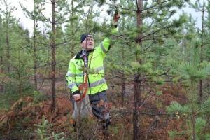 У Фінляндії оголосили збір стратегічного запасу шишок