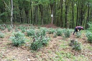 Єдину в Україні чайну плантацію під Мукачевом рекультивували