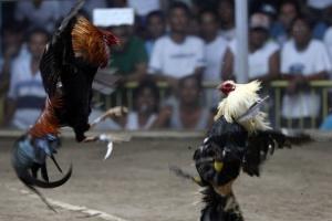 На Філіппінах бійцівський півень вбив поліцейського