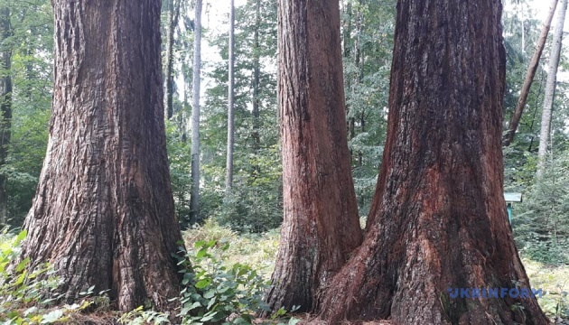 Дерева-мамонти, або Гігантоманія в карпатському лісі