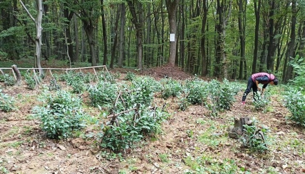 Ukraine's only tea plantation recultivated